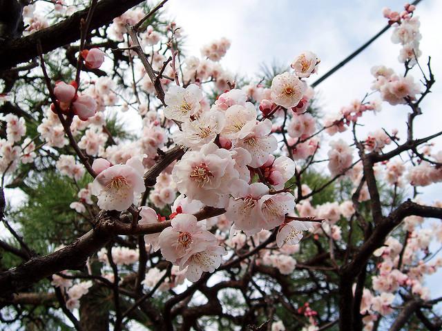 plum in Japan