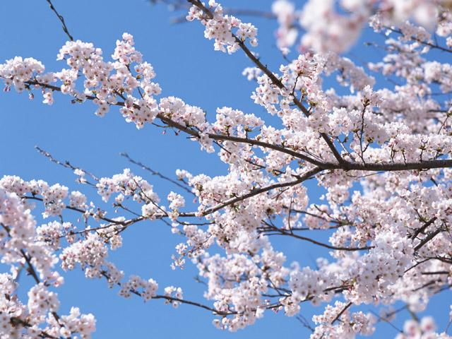 Japanese cherry blossom sakura