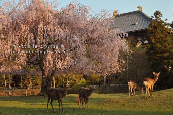 Japanese sakura and deer