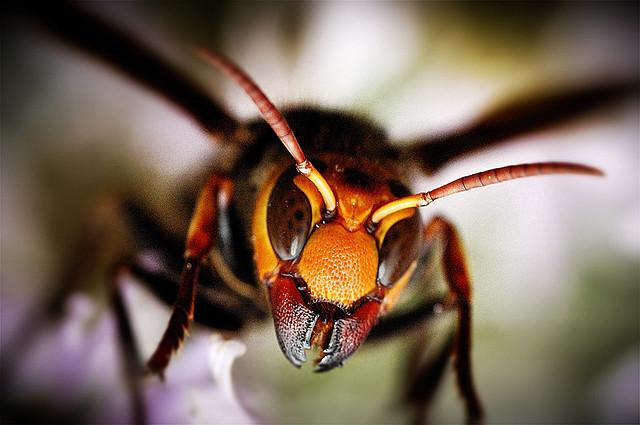 Japanese bee