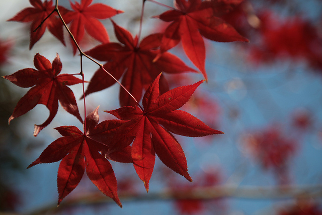 japanese autumn leaves