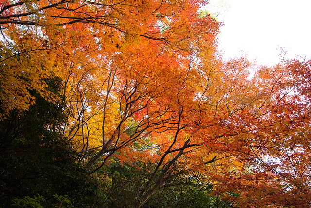 japanese colored leaves