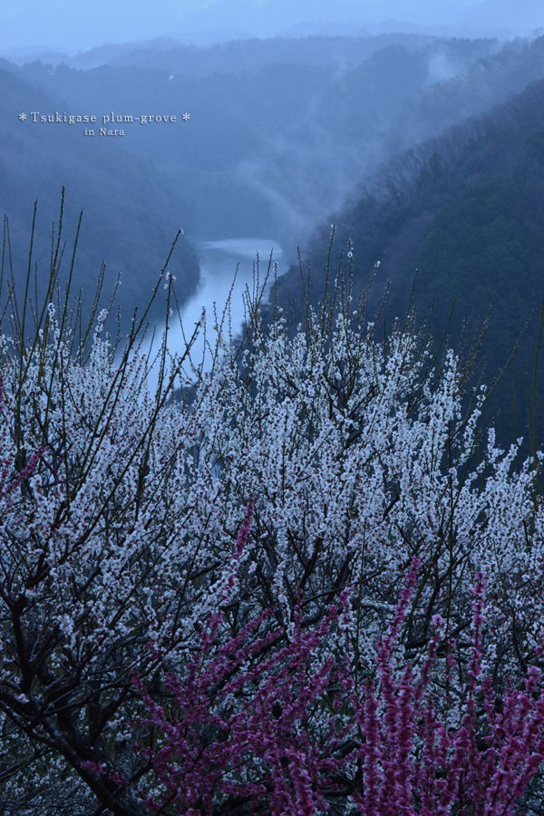 20140323_photoblog_tsukigase plum garden