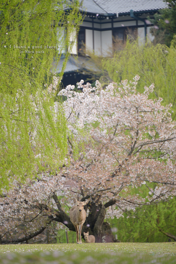 20140427_photoblog_deer family in nara park