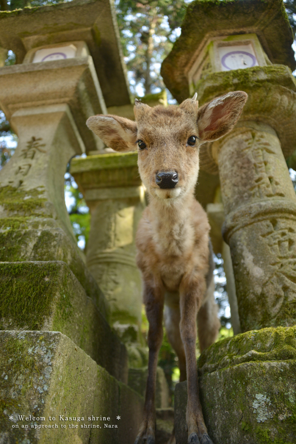 20140524_photoblog_welcoming deer at kasuga grand shrine