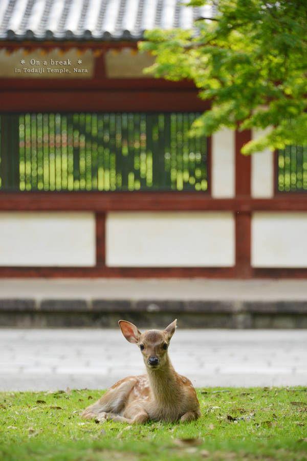 20140720_photoblog_deer resting at todaiji temple
