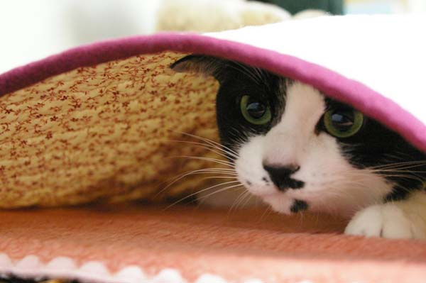 A Cat under a Blanket. Copy right またたび