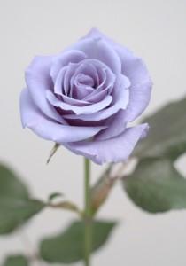 SUNTORY blue rose APPLAUSE (http://www.suntorybluerose.com/#). Copy right Suntory