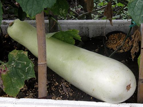 Sponge Gourd