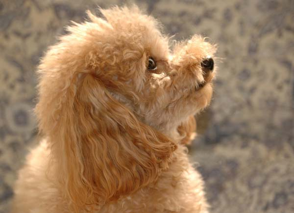 Teacup Poodle. Copy right poppo.