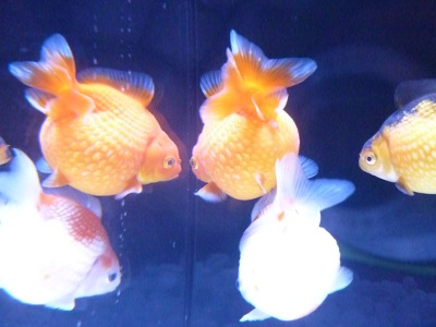 Japanese gold fish