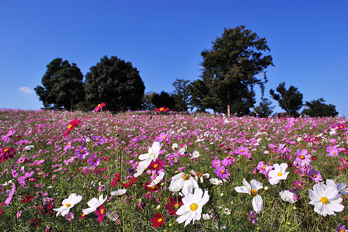 "Cosmos field in Showa Memorial Park. ""nakimusi"" some rights reserved. flickr"