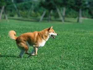 Japanese_dog