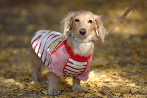 Miniature dachshund in clothes. Copy right scrat.