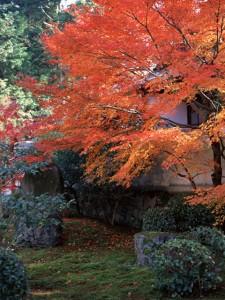 Japanese Momiji