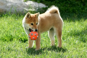 "Young Shiba. ""tachikoma"" some rights reserved. flickr"