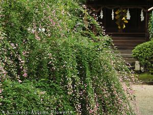 [Photoblog] Shrine with Bush Clover