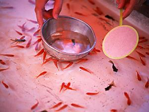 Japanese &quot;Kingyo sukui&quot; --- Goldfish scooping game!