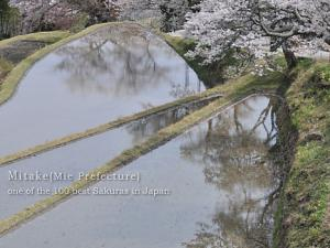 [Photoblog] Cherry Blossoms in Mitake
