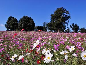 Beautiful Cosmos Blossoms