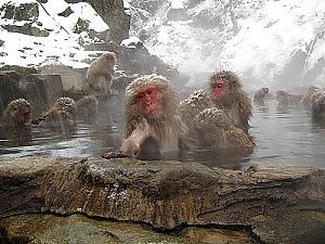Japanese Snow Monkeys in Hot Spring