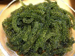 Fun food UMIBUDO aka Sea Grapes, Green Caviar